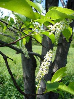 Self guided tree tour ganondagan black cherry mightylinksfo